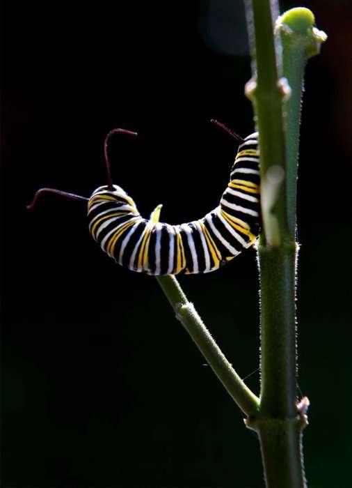 Метаморфозы и рождение бабочки-монарха