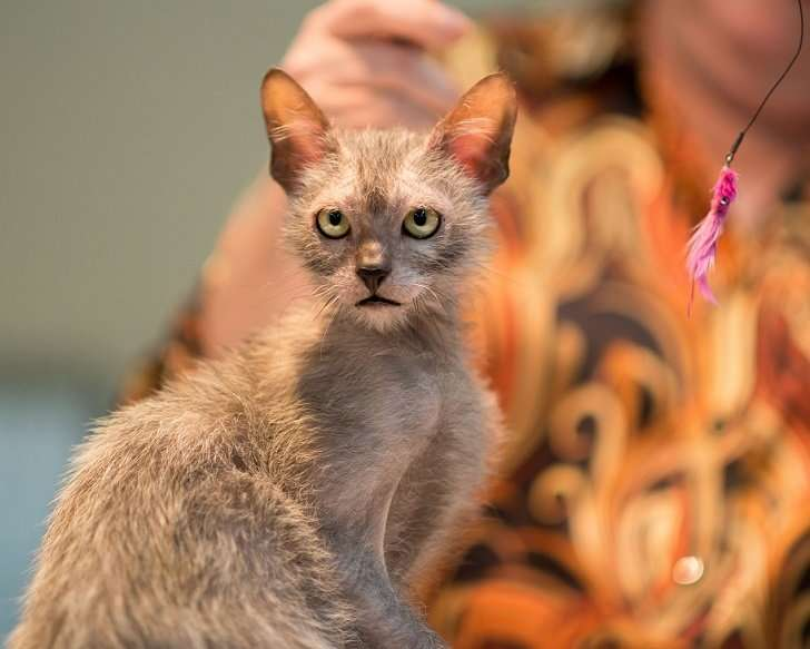 Необычные кошки породы ликой