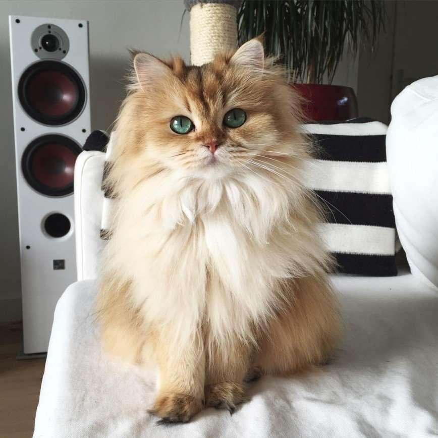 Кошка Смузи - восходящая звезда интернета
